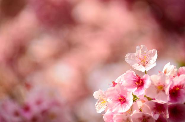 Photos: 熱海の寒桜3