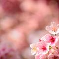 熱海の寒桜3