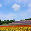 中富良野町営ラベンダー畑2