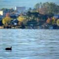 秋の河口湖を泳ぐ鴨