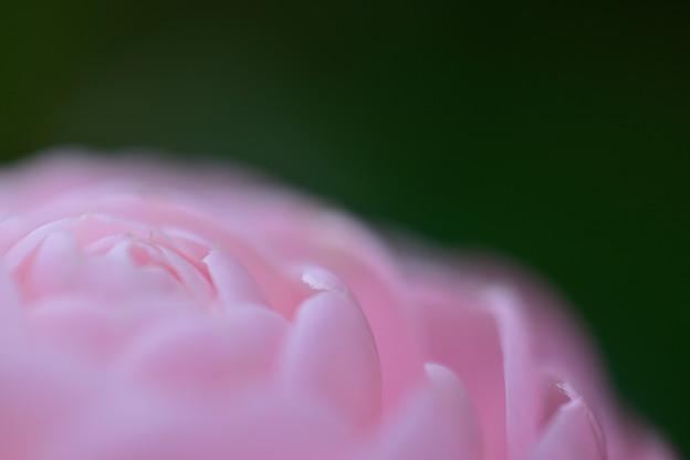 Photos: 椿の花弁