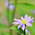 Photos: 野に咲く矢車菊