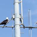 写真: 二羽のオオグンカンドリ