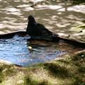 Photos: 鳩の水浴び