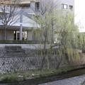 枝垂桜(開花前)