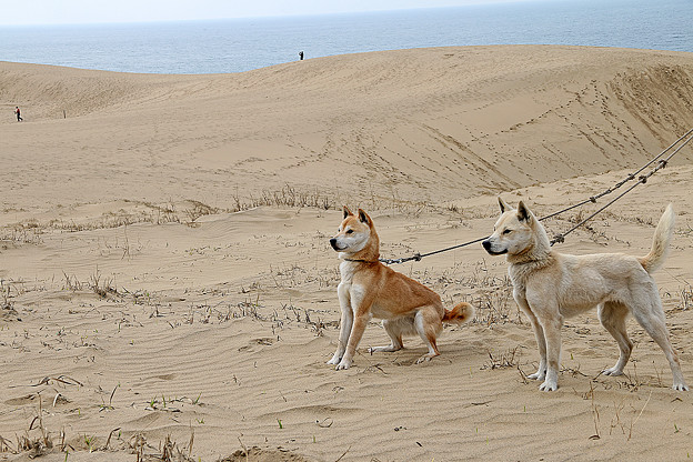 鳥取砂丘と山陰柴犬