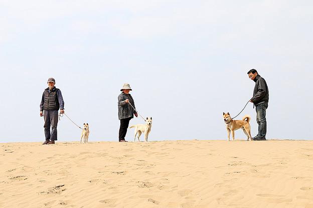 鳥取砂丘に立つ山陰柴犬
