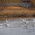 Photos: 飛び立つ白鳥