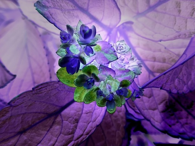 アジサイ(ネガ) 二番花