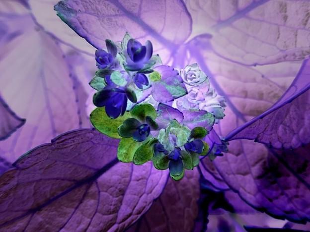 写真: アジサイ(ネガ) 二番花