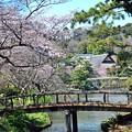 20 橋を見下ろす桜