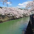 写真: 12 桜並み樹