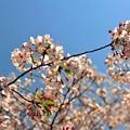 18 何処見ても桜
