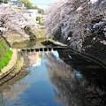 写真: 20 川を覆う桜