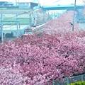 写真: 08沿線桜溜まり