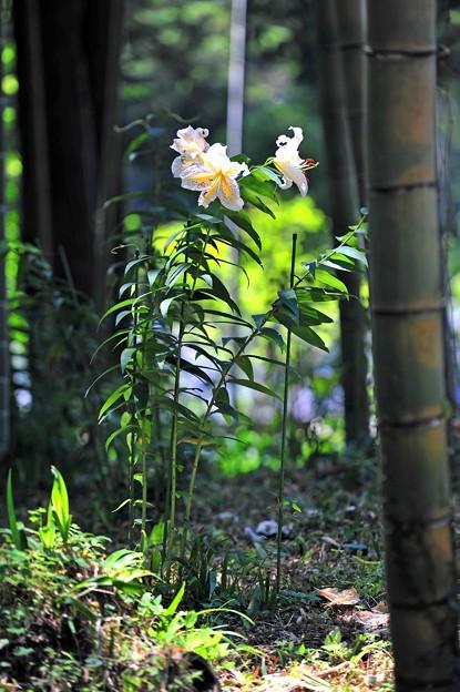 12 竹林に咲くユリ