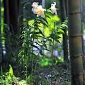 写真: 12 竹林に咲くユリ