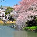 07 桜の前にさくら