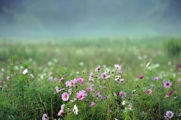 08 靄のコスモス畑