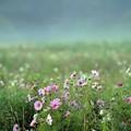 Photos: 08 靄のコスモス畑