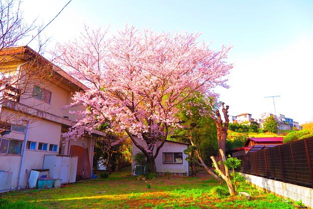 Photos: 20180331_sakura_01a