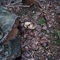 雄猿の頭蓋骨