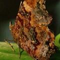 写真: ルリタテハの表翅