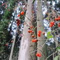 スギ(スギ科・スギ属)と ヒヨドリジョウゴの果実