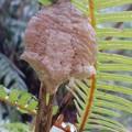 写真: オオカマキリの卵嚢(らんのう)