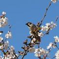 写真: [1]スズメと桜