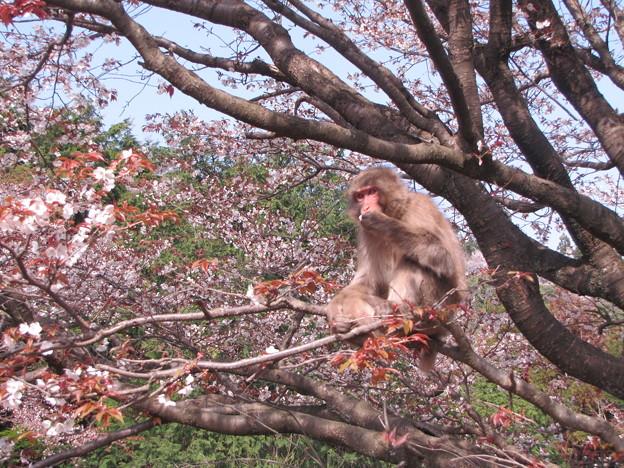 [3]ヤマザクラと猿(オス)