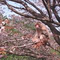 写真: [3]ヤマザクラと猿(オス)