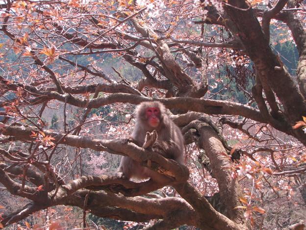 [7]ヤマザクラと猿(オス)