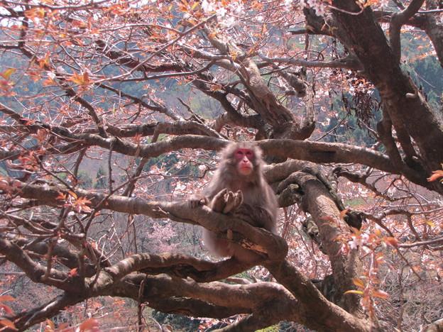 [8]ヤマザクラと猿(オス)
