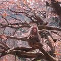 写真: [8]ヤマザクラと猿(オス)