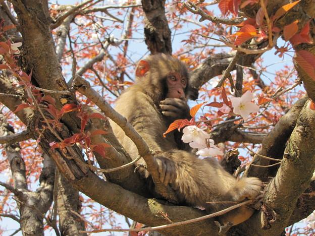 [9]ヤマザクラと猿(オス)