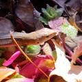 ニホンカナヘビ(カナヘビ科・カナヘビ属)