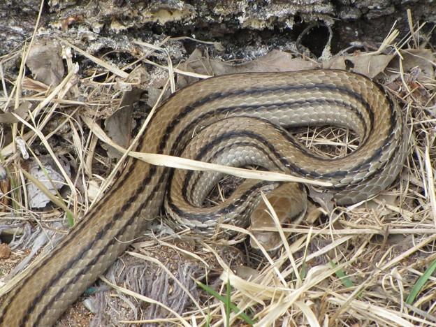 写真: [2]シマヘビ