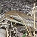 写真: [3]シマヘビ