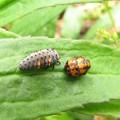 ナナホシテントウの幼虫とサナギ