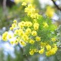 写真: フサアカシア(マメ科・アカシア属)