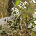 写真: [1]ツマキチョウのメス
