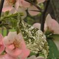 [2]ツマキチョウのメス