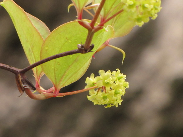 サルトリイバラの雌花