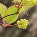 写真: サルトリイバラの雌花