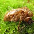 [A2]ナナフシの幼虫