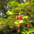 [1]ヤマモミジの花