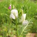 カラスノエンドウの白花