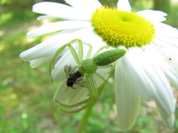写真: ワカバグモのメス
