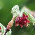[1]ハフチハカエデの花序
